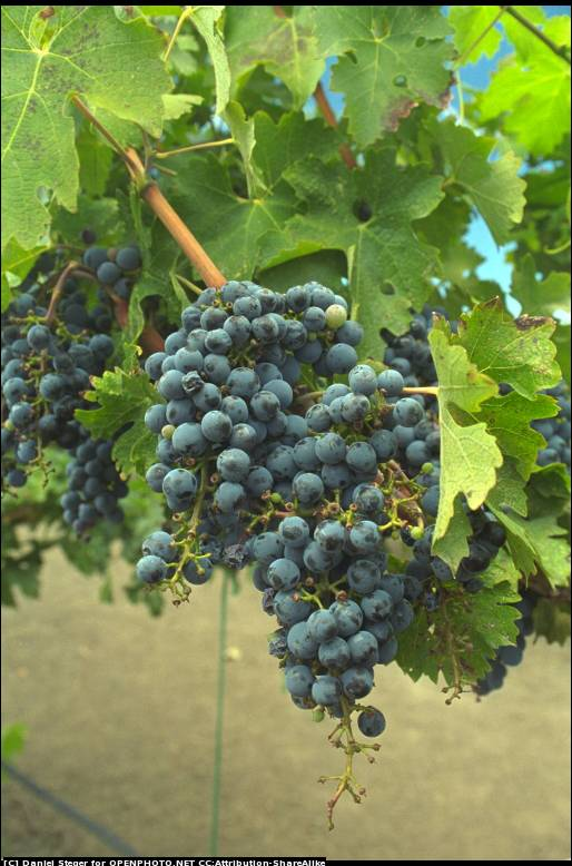 Nappa Valley Grapes