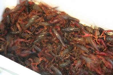 A mess of live crawfish